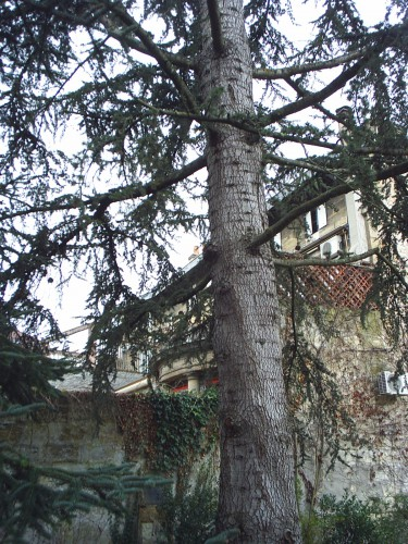 L'arbre raide.JPG