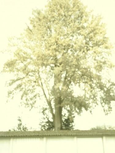 L'arbre au-dessus des tuiles.JPG
