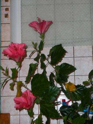 Hibiscus et carrelage.JPG